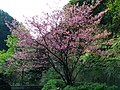 Cherry Blossoms in Yangmingshan National Park, New Taipei City, Taiwan 2018-03-13.jpg