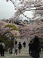 Cherry blossoms in front of torii of Terumo Shrine in Nishi Park 3.jpg