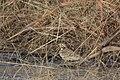 Chestnut-collared Longspur Curly Horse Ranch Rd Sonoita AZ 2018-01-26 09-34-28 (39936715261).jpg