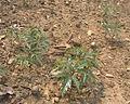 Choerospondias axillaris02.jpg