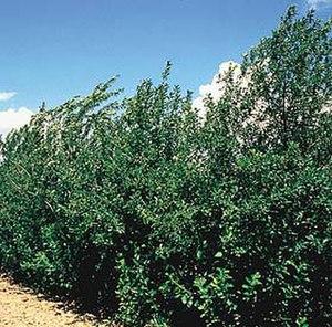 Prunus virginiana - Chokecherry – habit