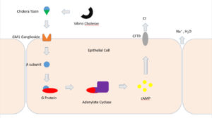 Cholera toxin - Cholera toxin mechanism
