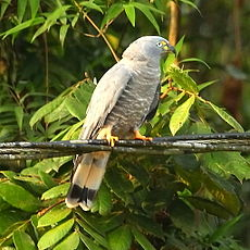 Chondrohierax uncinatus - Hook-billed Kite.JPG