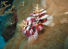 Christmas Tree Worm.jpg