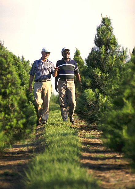 A Christmas tree farmer in the U.S. state of Florida explains the pruning and shearing process of cultivation to a government employee.