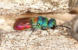 Chrysis scutellaris.jpg