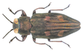 Chrysobothris igniventris Reitter, 1895.png