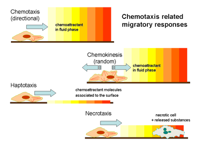 Chemotaxis related migratory responses