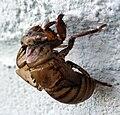 Cicada skin side.jpg