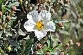 Cistus ladanifer alcornocales.jpg