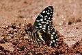 Citrus swallowtail (Papilio demodocus), Semliki Wildlife Reserve.jpg