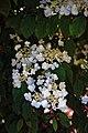 City of London Cemetery flowering shrub 8.jpg
