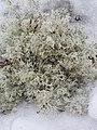 Cladonia arbuscula 110388432.jpg