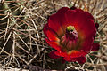 Claretcup cactus (9474253640).jpg