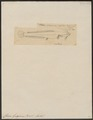 Clarias gariepinus - 1700-1880 - Print - Iconographia Zoologica - Special Collections University of Amsterdam - UBA01 IZ14600003.tif