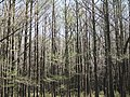 Clark conservation area, wolf river tn swamp 6 - panoramio.jpg