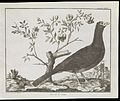 Classification of a crested curassow-royal pheasant Wellcome L0072136.jpg