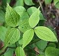 Clematis japonica (leaf s4).jpg