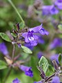 Clinopodium alpinum (flower).jpg