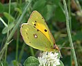 Clouded Yellow. Colias crocea (32251281922).jpg