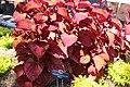 Coastal Georgia Botanical Gardens, Coleus Plectranthus scutellarioides 'Inferno'.jpg