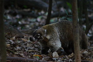 Coati - Coati showing its canines