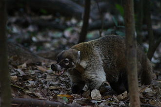 Coati - Coati showing its canines