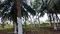 Coconut palm trees Limewashed.jpg