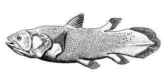 Sarcopterygii - Coelacanth