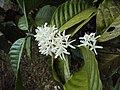 Coffea canephora 7.JPG