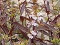 Coilbeak lousewort (43b621cdc76240fab02087fd17fcc3a2).JPG
