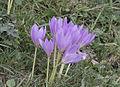 Colchicum sp., Sisdağı 05.jpg