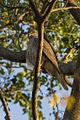 Collared Sparrowhawk - Botanic Gardens - Darwin S4E3937 (22222346968).jpg