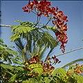 Collectie Nationaal Museum van Wereldculturen TM-20029531 Bloeiende boom Aruba Boy Lawson (Fotograaf).jpg