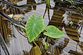 Colocasia Sp 6064.jpg