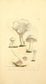 Coloured Figures of English Fungi or Mushrooms - t. 143.png