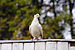 Columba white.jpg