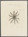 Comatula mediterranea - - Print - Iconographia Zoologica - Special Collections University of Amsterdam - UBAINV0274 108 19 0004.tif