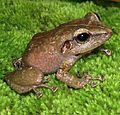 """In this image there is a brown coquí. The species resembles a small frog."""