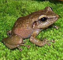 In this image there is a brown coquí. The species resembles a small frog.
