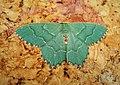 Common Emerald . Hemithea aestivaria (43333814235).jpg