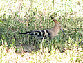 Common Hoopoe (Upupa epops).jpg