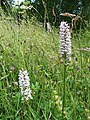 Common Spotted Orchid, Dactylorhiza fuchsii - geograph.org.uk - 855634.jpg