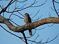 Common hawk-cuckoo roostng.jpg