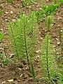 Common horsetail (Equisetum arvense ) - geograph.org.uk - 828907.jpg