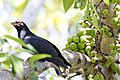 Common koel 1 (11729093186).jpg