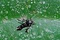 Concealer Moth (Oecophoridae) (8539369746).jpg