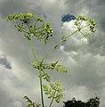 Conium maculatum inflorescence (15).jpg