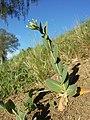 Conringia orientalis sl34.jpg
