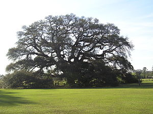 Geneva, Alabama - Constitution Oak, a live oak at the river junction in Geneva. It is believed to be among the largest and oldest live oaks in the state.